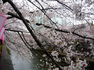 20150329目黒の桜(その33)