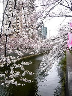 20150329目黒の桜(その35)