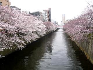 20150329目黒の桜(その36)