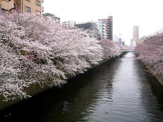 20150329目黒の桜(その37)