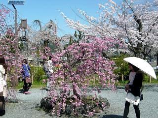 20150404嵐山桜(その49)