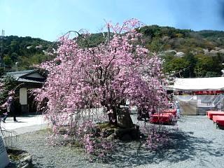 20150404嵐山桜(その52)