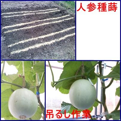 9月2日人参種蒔&メロン吊るし作業
