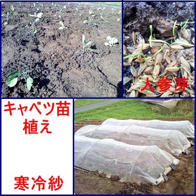 9月10日キャベツ苗植え&人参芽