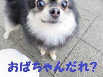 ご近所ポメちゃん 009