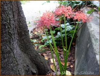 20150923 神田川 3  赤い彼岸花
