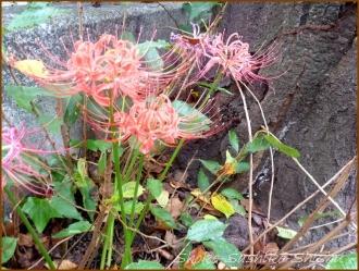 20150923 神田川 2  赤い彼岸花