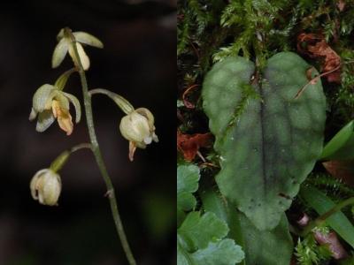 コイチヨウランの花と葉