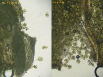 花粉の比較