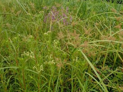休耕田の湿生草本