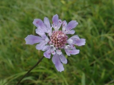 マツムシソウの花