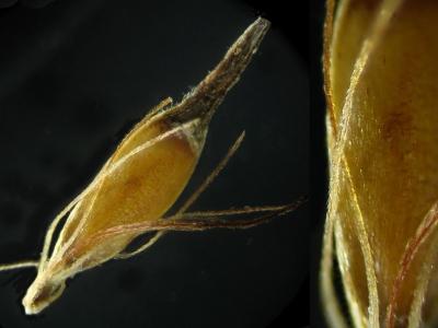 ミヤマイヌノハナヒゲ・痩果と刺針状花披片