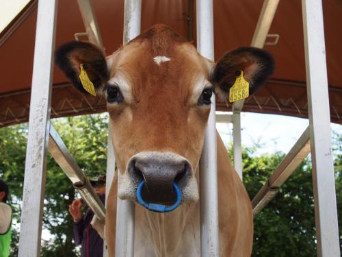 ジャージー牛さん