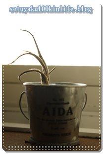 多肉植物!100均セリアの「エアプランツ」はなぜ枯れてしまったのか?