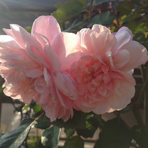 ピンク・グルース・アン・アーヒェン_2015092301