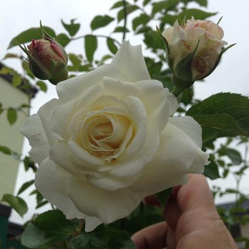 ホワイトストリーム_2015092601