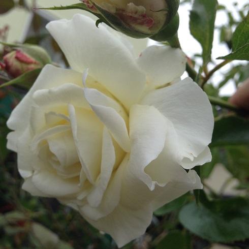 ホワイトストリーム_2015092602