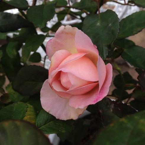 ピンク・グルース・アン・アーヒェン_2015092702