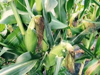 トウモロコシ2015090601