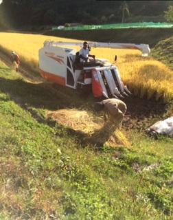 稲刈り201541018