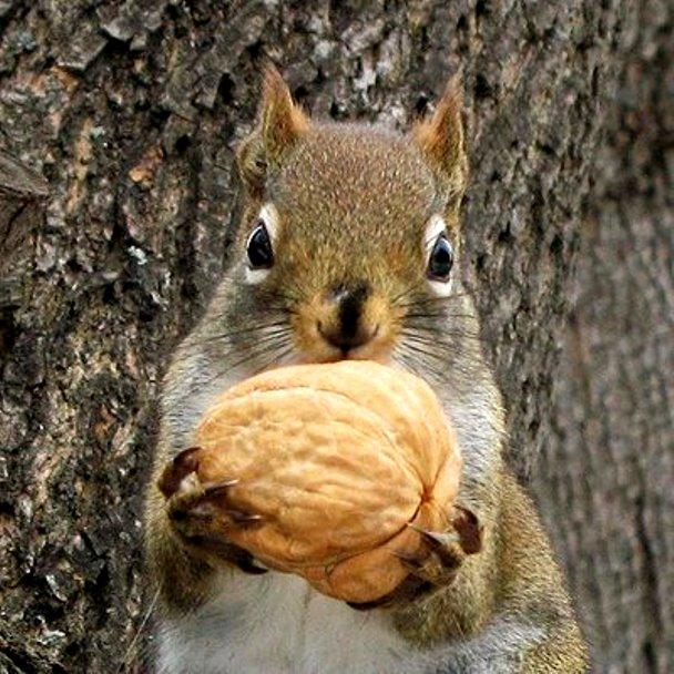++++++++Black Squirrel-walnut0