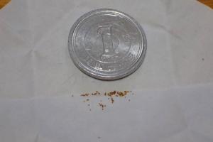 ホシクサsp ポラリスの種