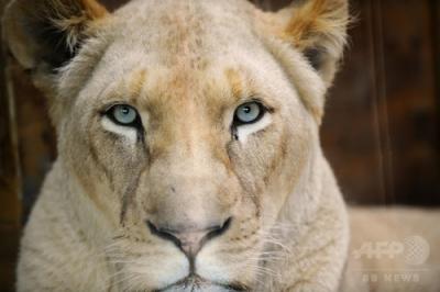 安徽省の雌ライオン