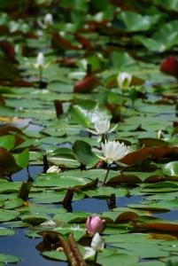 ため池に咲くスイレン