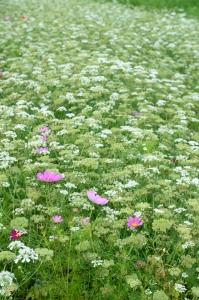 季節外れのコスモスとオルレアの花
