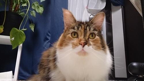 小豆猫_ちまっ