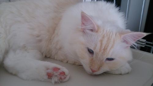 ふて寝_白玉猫