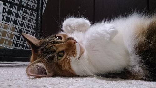 へそ天_小豆猫4