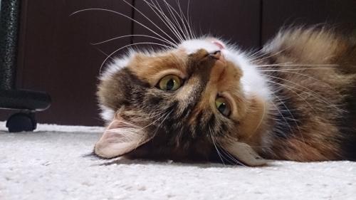 へそ天_小豆猫1