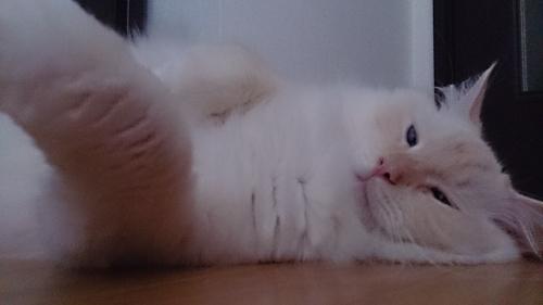 ゴマ猫_白玉猫2