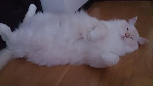 ゴマ猫_白玉猫