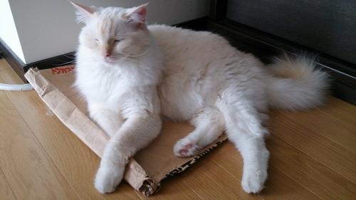 猫砂袋の上でくつろぐ_白玉猫