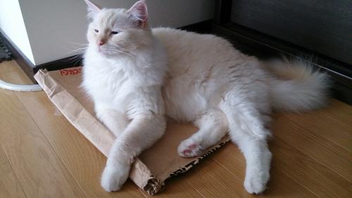 猫砂袋の上でくつろぐ_白玉猫2