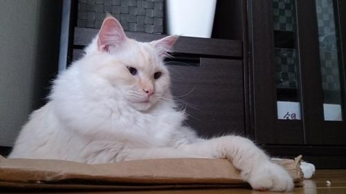 猫砂袋の上でくつろぐ_白玉猫3
