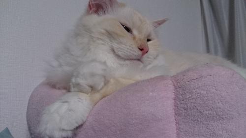 ふふふーん_白玉猫
