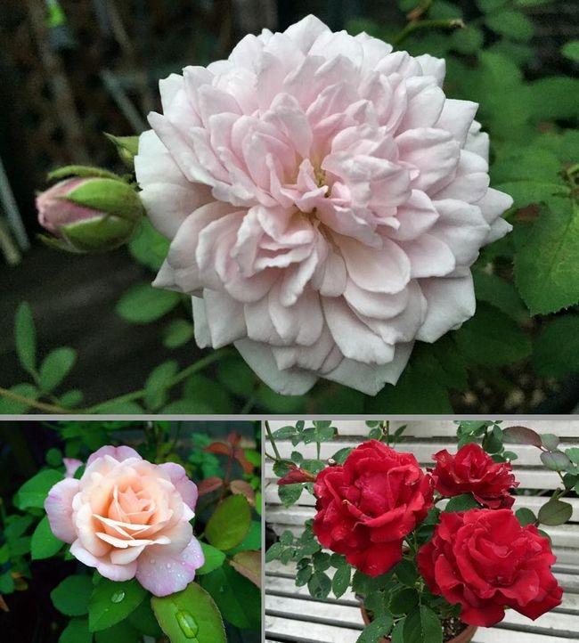8,20 ベランダのバラ