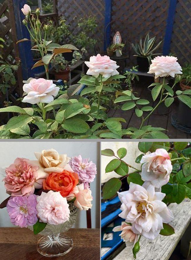 8,29ベランダのバラ