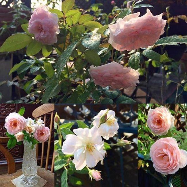 9,4ベランダのバラ