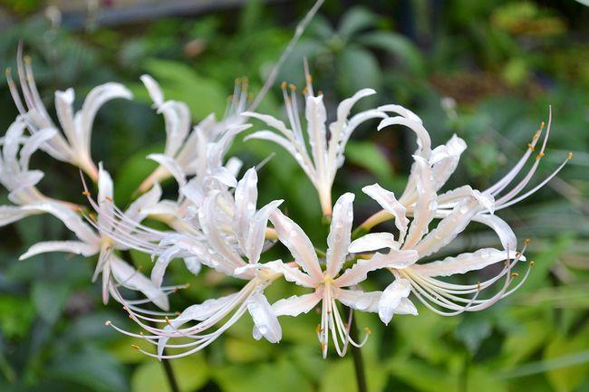9,14白花ヒガンバナー1