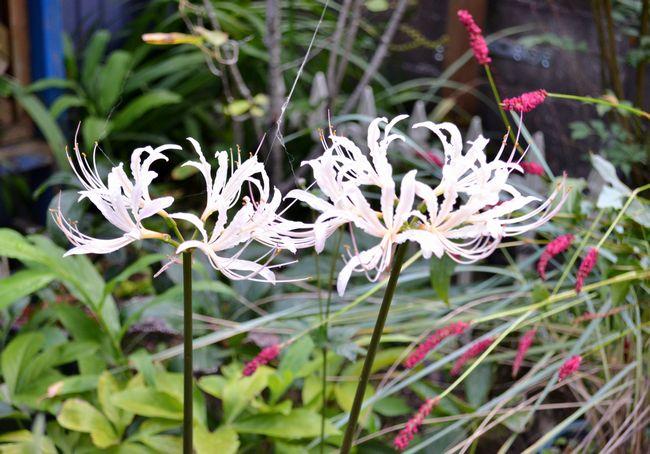 9,14白花ヒガンバナー2