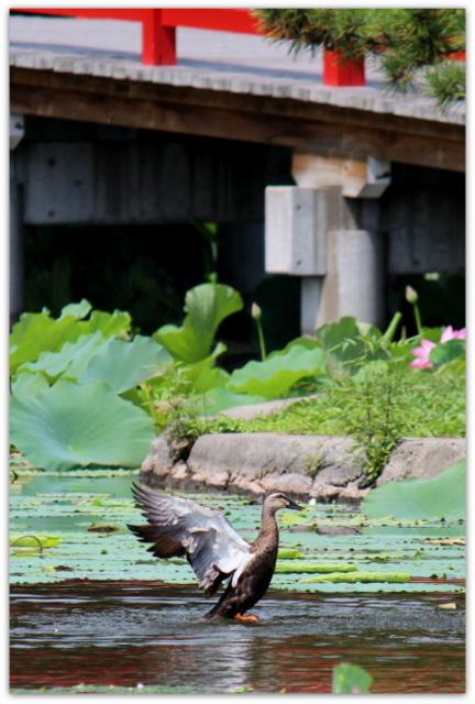 青森県 平川市 猿賀神社 猿賀公園 蓮の花 蓮池 トンボ トノザマガエル 観光 自然 写真
