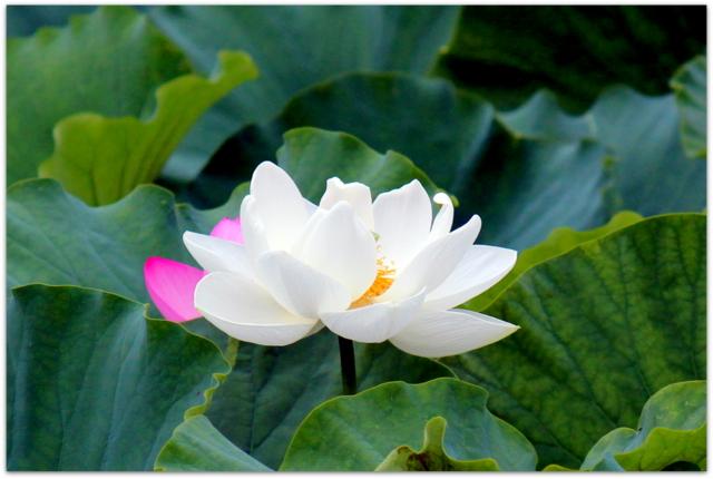 青森県 弘前市 曹洞宗 津軽山 革秀寺 観光 白い蓮の花 蓮 白蓮 写真 トンボ 花の写真
