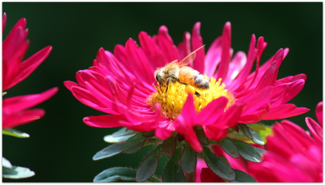 花 アスター 蜜蜂 写真