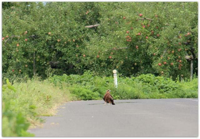 鳥 野鳥 猛禽類 ノスリ 写真 自然