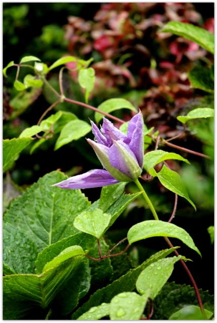 季節を感じる庭の花 クレマチス 花の写真