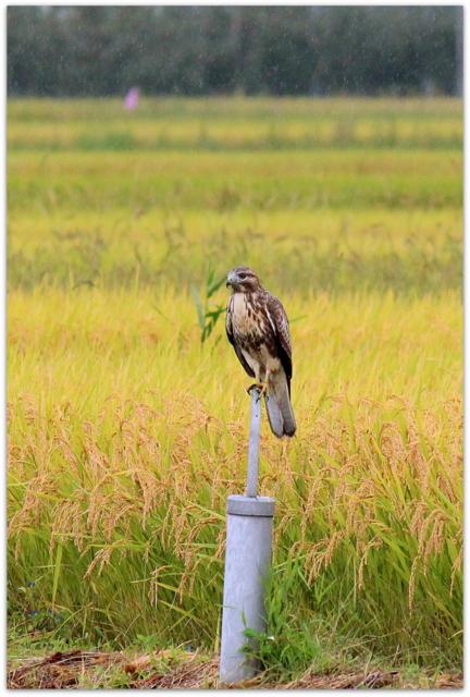野鳥 鳥の写真 猛禽類 ノスリ